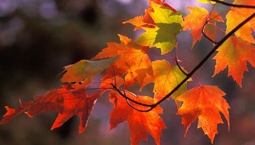Metamorphosis of colors from bright yellows to vibrant reds during fall