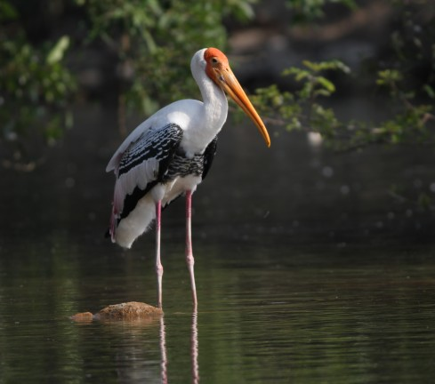 Exotic Birds in RanganThittu Bird Sanctuary